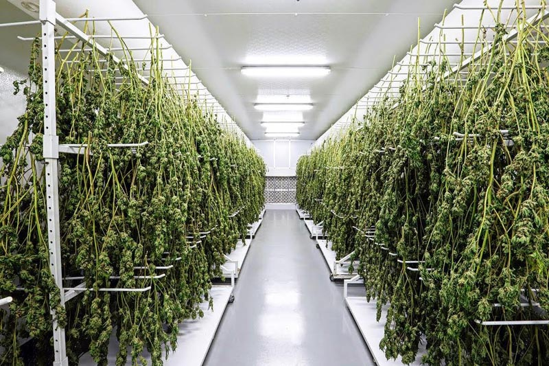 Cannabis Curing Room Los Angeles, Cannabis Drying Room Los Angeles, CA